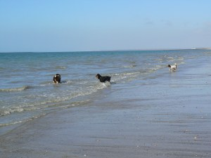 Dogs on the beach at St Martin de Bréhal